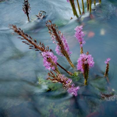 Salade coumarou. Plante aquatique des fleuves guyanais © G. Feuillet PAG