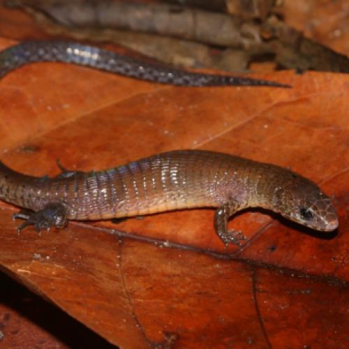 Ptychoglossus brevifrontalis, une nouvelle espèce de lézard pour la Guyane
