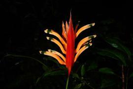 Nouvelle espèce Heliconia © S. Sant PAG