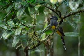 Trogon © Guillaume Feuillet / PAG