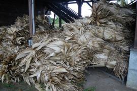 Feuilles de wai entreposées pour la réalisation de la toiture du tukusipan de Taluen, Maripa-Soula