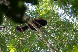 Saki satan (Chiropotes chiropotes) dans la canopée du Mont Itoupé, au dessus du camp de vie (600m) © Guillaume Feuillet / PAG