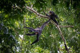 Atèles noirs © Guillaume Feuillet / PAG