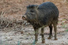Pécari ou cochon bwa © Guillaume Feuillet