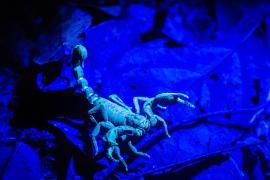 Repérage d'un scorpion de nuit par lampe UV © Aurélien BRUSINI