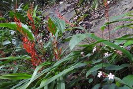 Pitcairnia sastrei © Seb Sant PAG